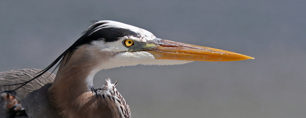 Blue Heron Closeup