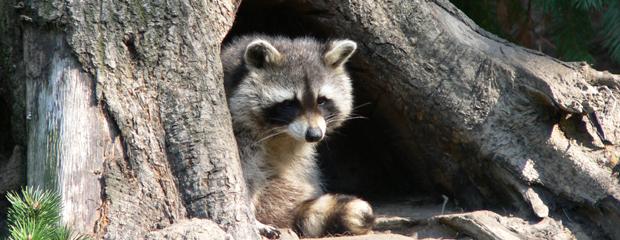 Raccoon in Tree Hollow