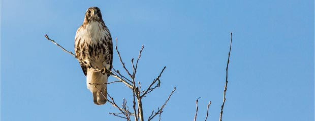 Red Tailed Hawk on Branch