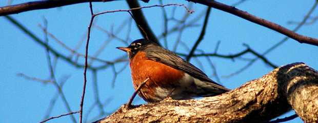 Robin on Branch