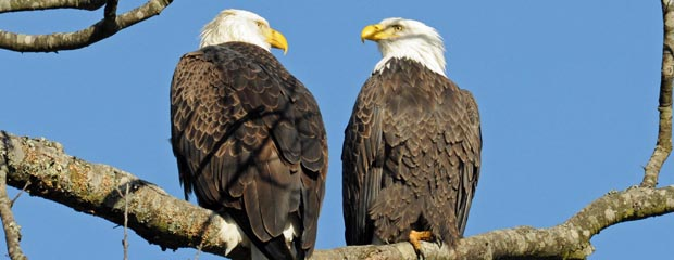 Two Eagles Perched on Branch