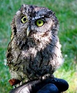 Ambassador Owl Otus