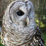 Ambassador Owl Shakespear