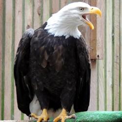 Eagle Complaining