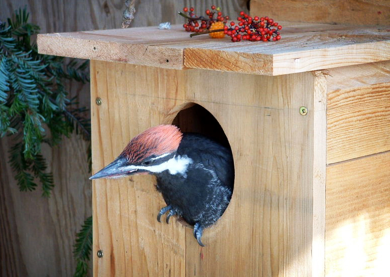 Pileated Woodpecker in Nesting Box