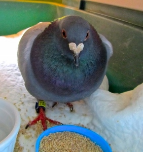 Plucky Pigeon