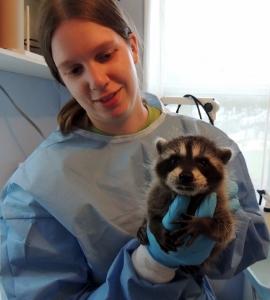 Baby raccoon with 2012 intern Elizabeth