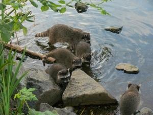 Raccoon in water by Jim Dubois