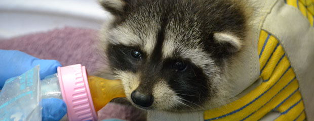 Raccoon Feeding Patient