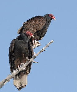 Adult Turkey Vultures photo by Mike Yip