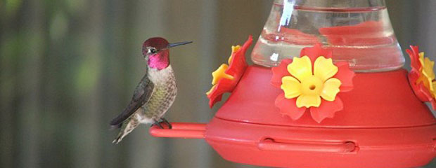 Rufous Hummingbird at Feeder
