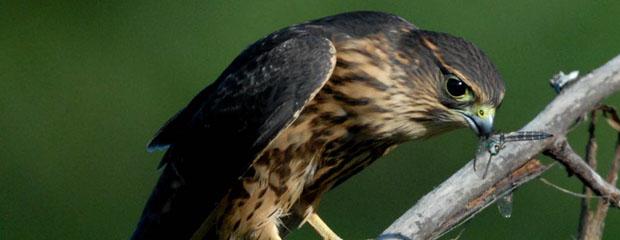 Adult Merlin