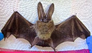 big eared townsend bat