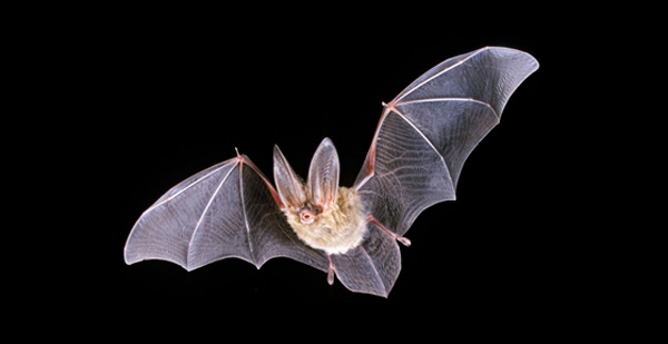 Townsend's Bat