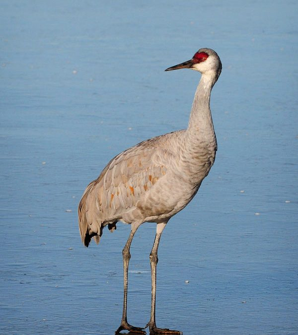 Sandhill Crane On Ice