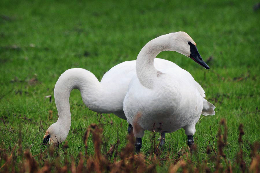 Two Trumpeter Swans Feeding