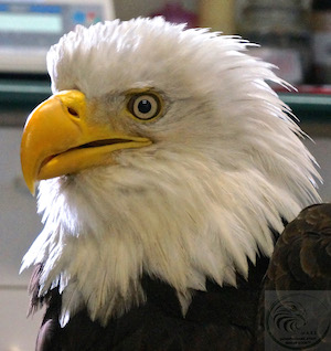 Eagle Release Nov 28 2015