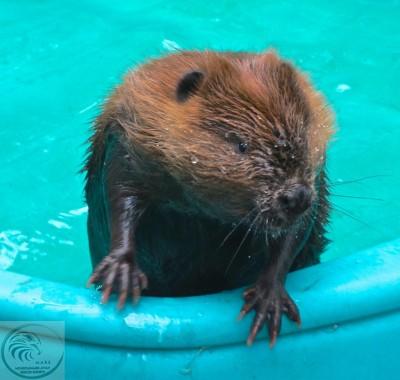 Baby Beaver in Pool