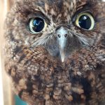 Lanni Screech Owl