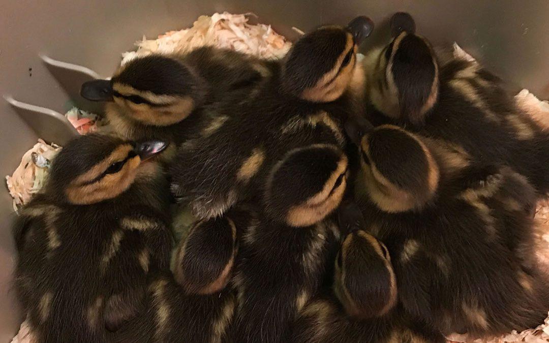 Baby Ducks link