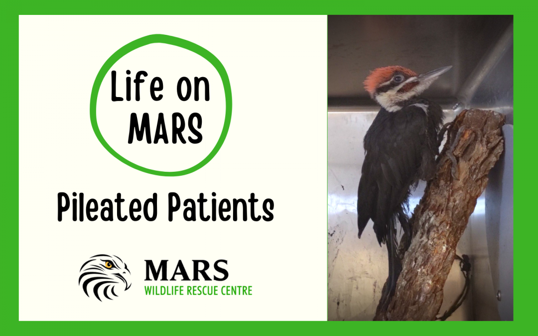 VIDEO: Life on MARS–Pileated Patients