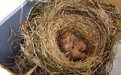 HELP! I found a baby bird!